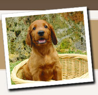 The Irish Doodle is a cross between a Poodle and an Irish Setter